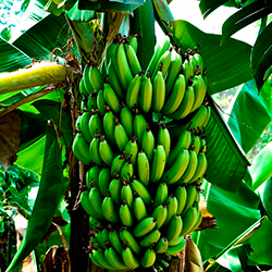 Ecuadorian-Fresh-Cavendish-Banana